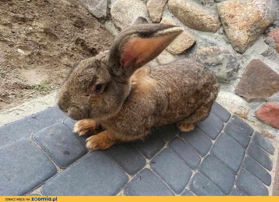 Sprzedam królika samiec BOS OKAZJA