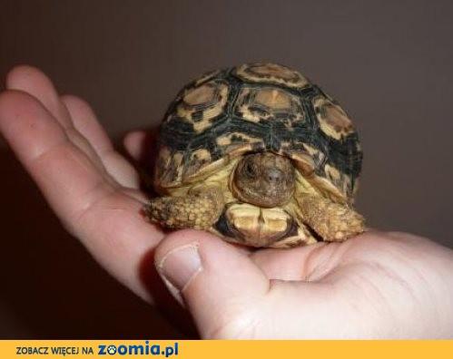 Sprzdam żółwia Larciego Geochelone pardalis