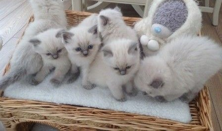 Przepiękne kociaki Ragdoll   mazowieckie Góra Kalwaria