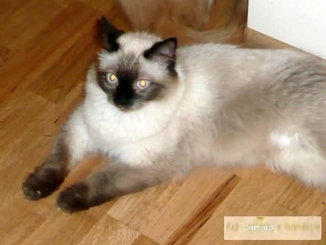 Sprzedam śliczną kotkę Neva Masguarade
