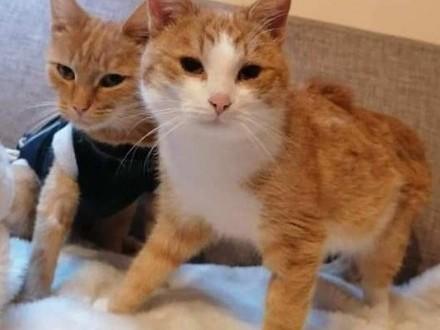 LEON młody rudy kot- stracił panią teraz szuka nowego domu