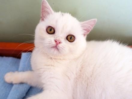 kotka egzotyczna biała  rodowód FPL