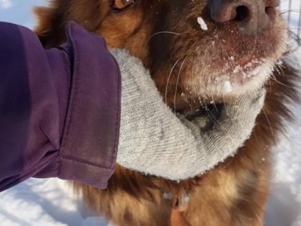 CZAMBEREK-prześliczny czekoladowy psiak szuka domu,