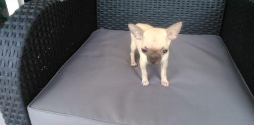 Chihuahua piesek kieszonkowy   śląskie Żywiec
