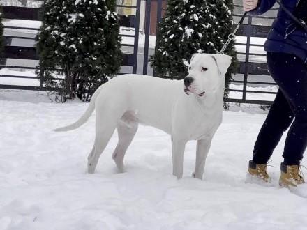 REPRODUKTOR Dog Argentyński Dogo Argentino FCI ZKwP