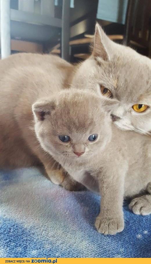 Kociaki brytyjskie,  dolnośląskie Jelenia Góra