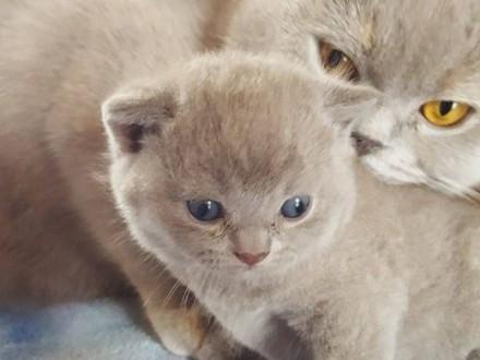 Kociaki brytyjskie   dolnośląskie Jelenia Góra