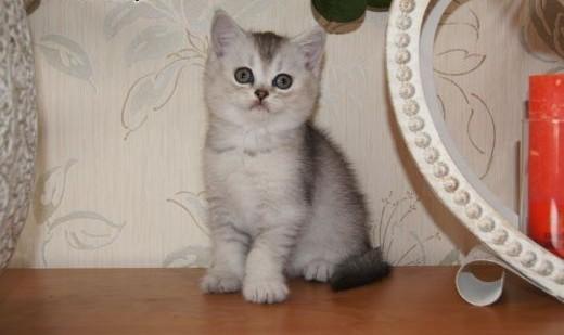 śliczna kotka  brytyjska   warmińsko-mazurskie Elbląg