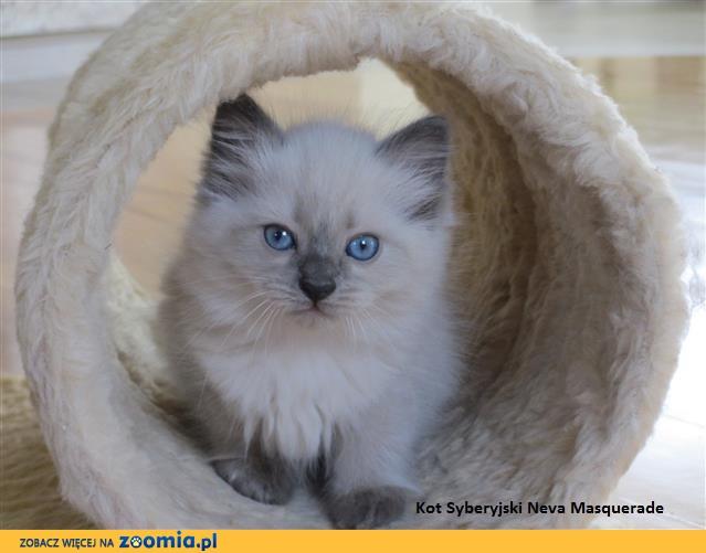 Ogłoszenia Oddam Kota Oddam Kocięta Koty I Kociaki Szukają