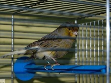 Kanarki samce i samiczki