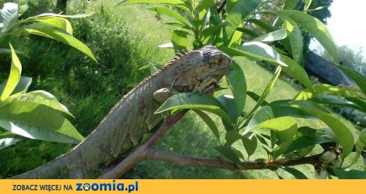 legwan zielony,  śląskie Bielsko-Biała