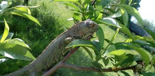 legwan zielony   śląskie Bielsko-Biała
