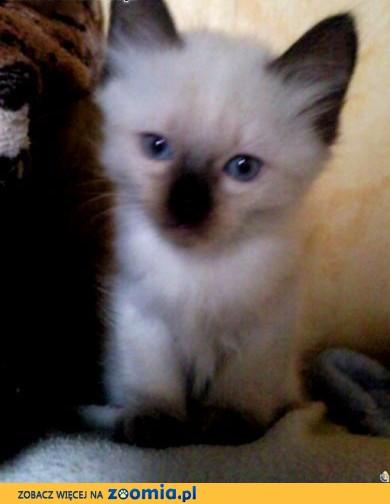 kotki tajskie,  świętokrzyskie Sandomierz