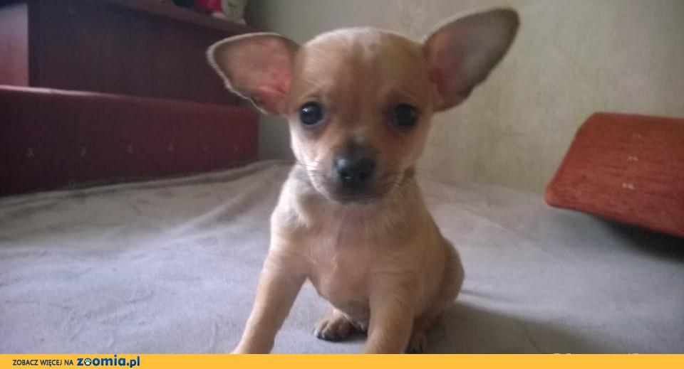 Chihuahua - wyjątkowy maleńki piesek