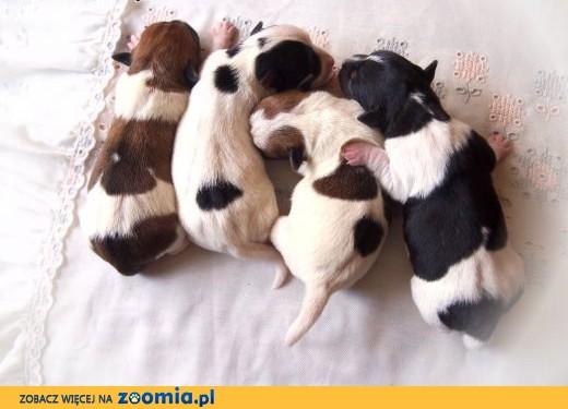 Jack Russell Terrier- gładkowłose szczenięta.Rezerwacja.,  kujawsko-pomorskie Nakło nad Notecią