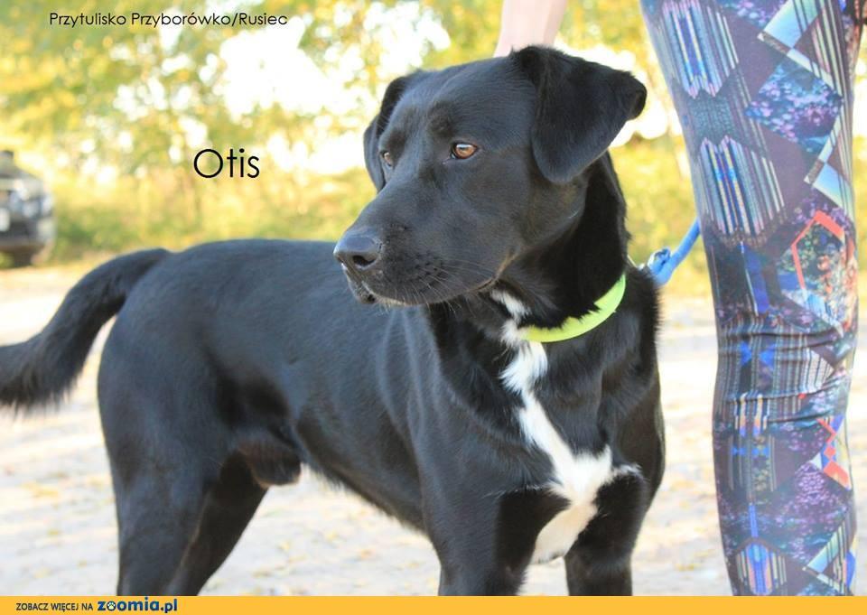 Otis - młody, aktywny, piękny w typie laba