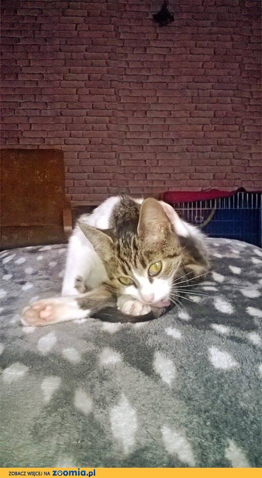 Zuzia, słodka kocia przylepka szuka domu!