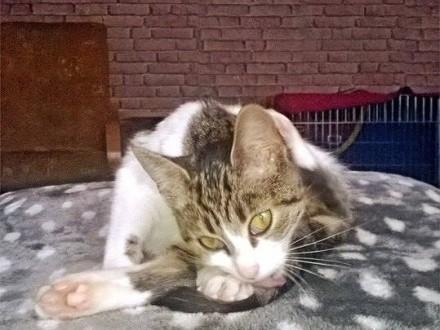 Zuzia  słodka kocia przylepka szuka domu!