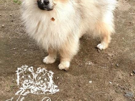 Szpic miniaturowy Orange Merle ur20122020 PASZPORT!!!