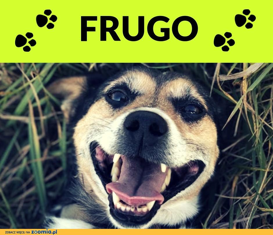 Frugo-12kg, 6 lat, towarzyski i kontaktowy, przytulas, łagodny ADOPCJA