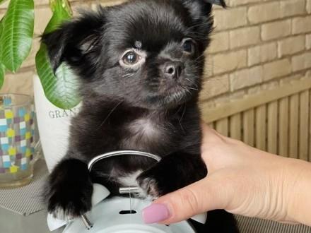Chihuahua chlopak