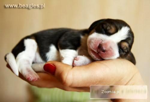 Rod. Szczeniaki beagle - zadbane tricolorki - Królewska Zgraja FCI