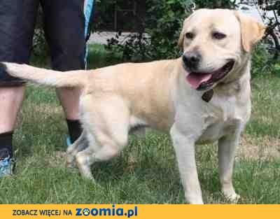 Hupcio biszkoptowy labrador do adopcji