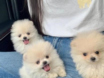 Pomeranian Puppies Psy i Suki