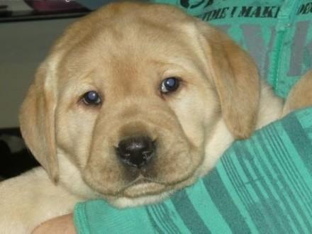 Labradory Szczeniaki   mazowieckie Przysucha