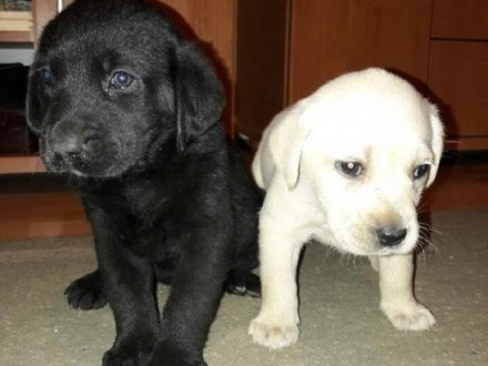 Sprzedam szczeniaki Labrador Retriever    małopolskie Tarnów