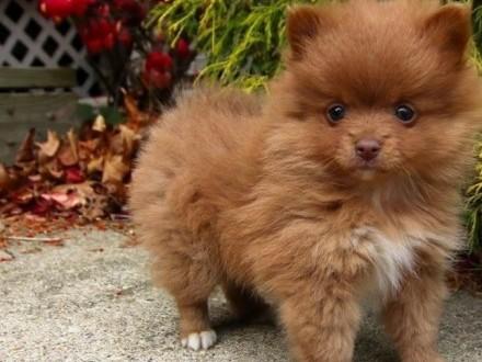 Szpic miniaturowy Pomeranian Piesek Thajland