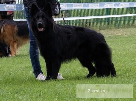 Wybitny Owczarek Niemiecki Długowłosy Czarny « Owczarek niemiecki « Psy OJ65