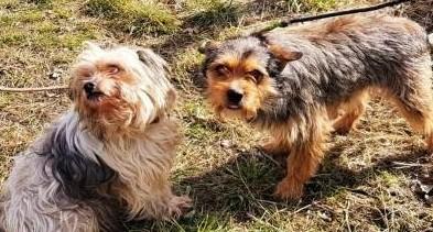 Tosia i Tolek - dwa nieduże psiaki szukają wspólnego domu Adoptuj!