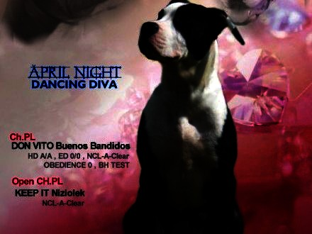 American Staffordshire Terrier Amstaff ZKwP FCI_Po Chamionie