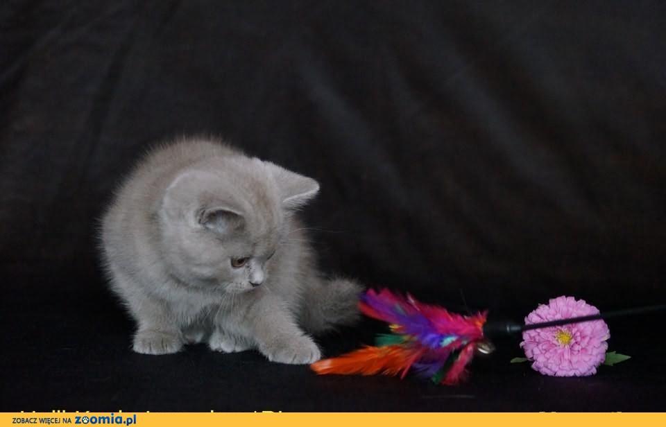 Wspaniałe Kocięta Brytyjska Krótkowłosa, rodowód FPL.