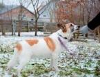Bemaz spokojny pies szuka domu