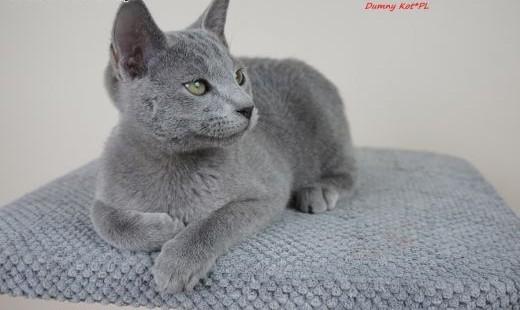Kocięta Rosyjskie Niebieskie w hodowli Dumny Kot w Toruniu   kujawsko-pomorskie Toruń