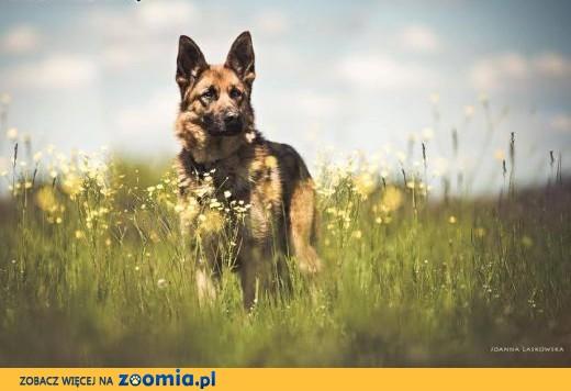 Cykor - pies z niego odlotowy i spacerowy ;),  mazowieckie Warszawa