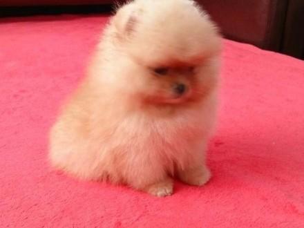 Pomeranian szczenięta z rodowodem międznarodowym FCI