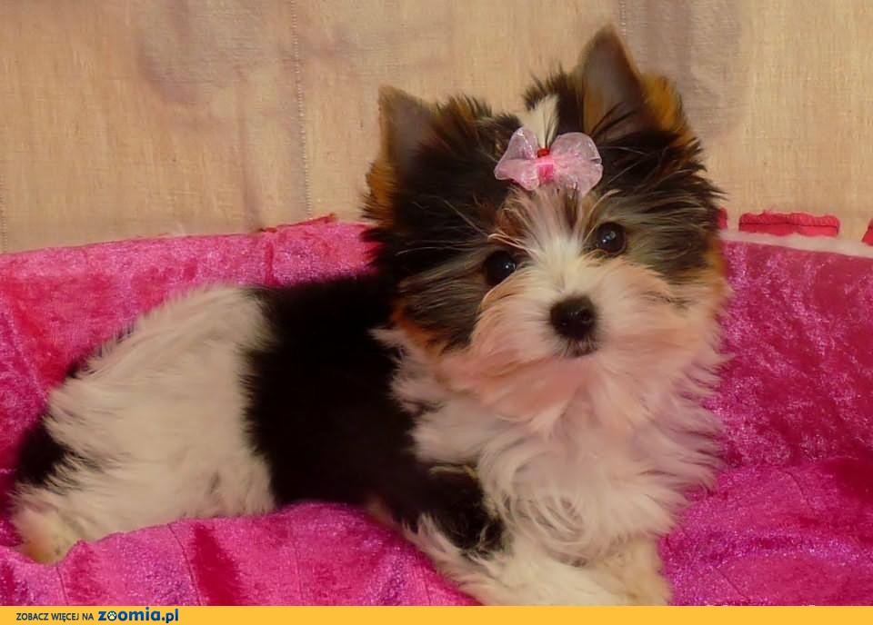 Sprzedam prześliczną, maleńką sunię Biewer Yorshire terrier