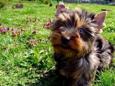 Biewer_Blue Merle Yorkshire Terrier_Błękitnooka Piękność !