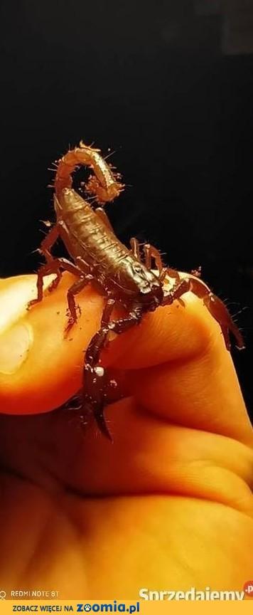 Skorpion Heterometrus petersii l1-l2