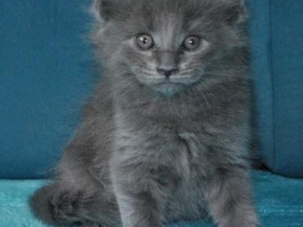 Diuna - niebieska koteczka Maine Coon z prawdziwym rodowodem