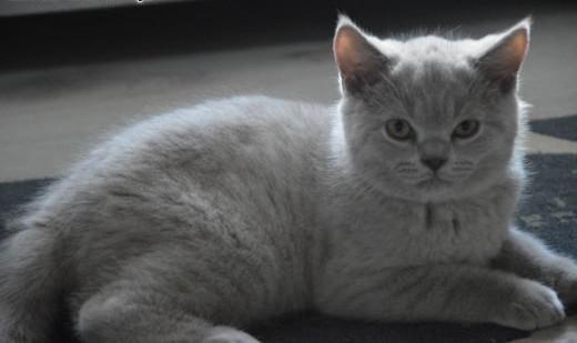 Liliowa koteczka z rodowodem FPL   mazowieckie Płock
