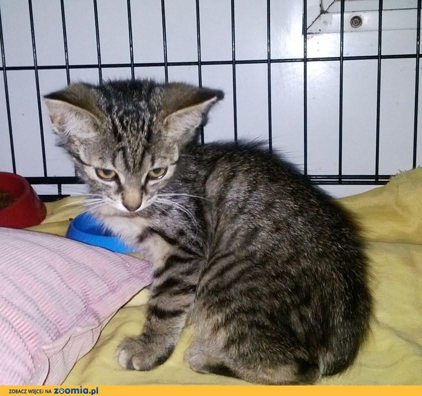 Malutki kotek Mufasa szuka spokojnego kochającego domu