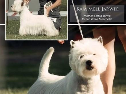 West Highland White Terrier szczeniaczki z rodowodem ZKwP