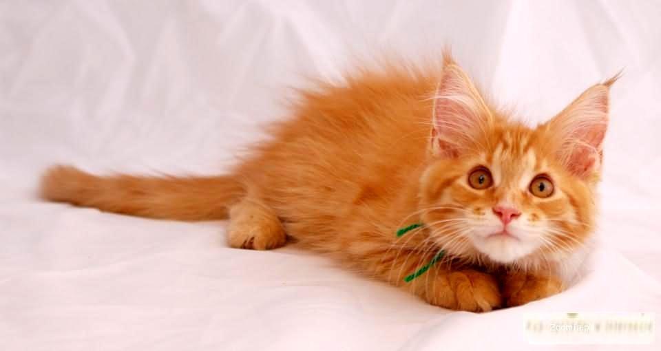 FRASZKA: koteczka MAINE COON z rodowodem FIFE