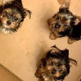 Yorki Miniaturki! MINI Yorkshire Terrier -