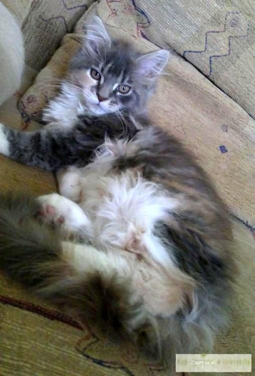 Koteczka Maine Coon już do odbioru