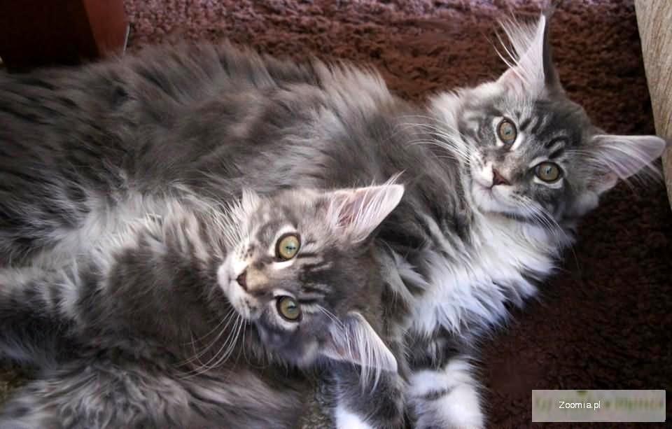 Sprzedam Kocięta Rasy Maine Coon Z Rodowodem Maine Coon Koty